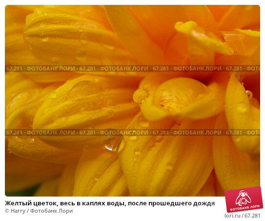 Желтый цветок, весь в каплях воды, после прошедшего дождя, фото № 67281, снято 2 сентября 2005 г. (c) Harry / Фотобанк Лори