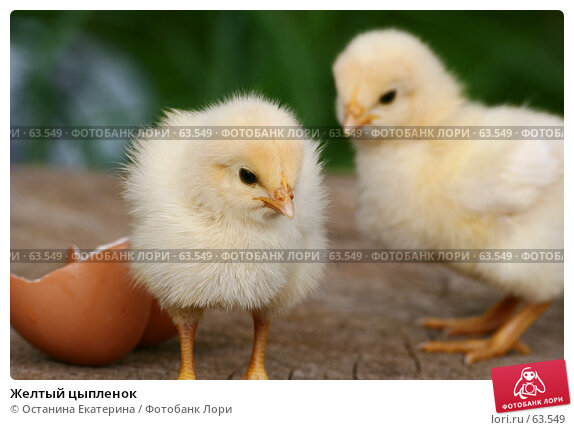 Желтый цыпленок, фото № 63549, снято 26 мая 2007 г. (c) Останина Екатерина / Фотобанк Лори