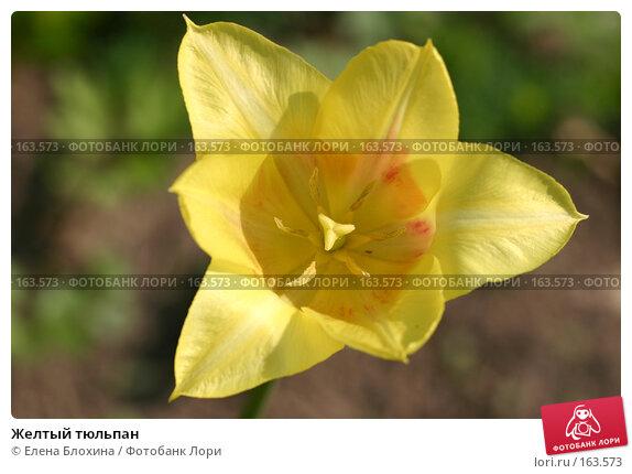 Желтый тюльпан, фото № 163573, снято 16 мая 2007 г. (c) Елена Блохина / Фотобанк Лори