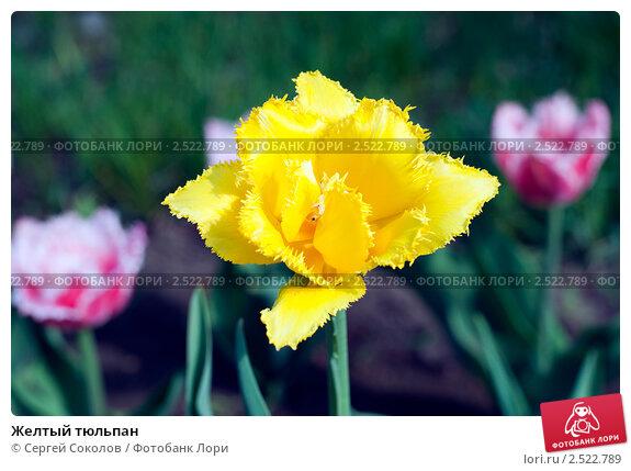 Желтый тюльпан. Стоковое фото, фотограф Сергей Соколов / Фотобанк Лори