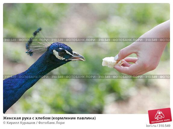 Женская рука с хлебом (кормление павлина), фото № 310549, снято 1 мая 2008 г. (c) Кирилл Курашов / Фотобанк Лори