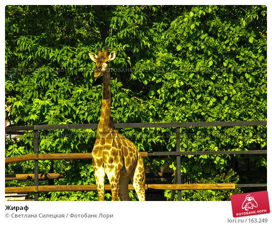 Жираф, фото № 163249, снято 3 июня 2007 г. (c) Светлана Силецкая / Фотобанк Лори