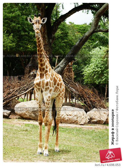 Жираф в зоопарке. Стоковое фото, фотограф Василий Сорокин / Фотобанк Лори