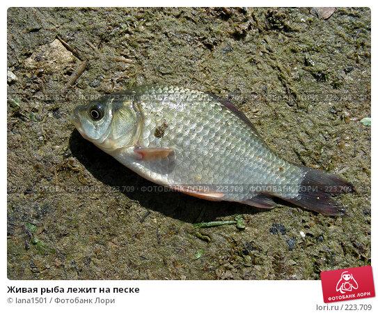 Живая рыба лежит на песке, эксклюзивное фото № 223709, снято 15 июля 2007 г. (c) lana1501 / Фотобанк Лори