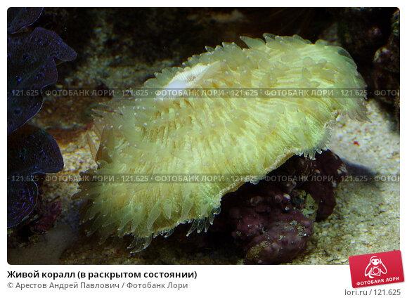 Живой коралл (в раскрытом состоянии), фото № 121625, снято 12 ноября 2006 г. (c) Арестов Андрей Павлович / Фотобанк Лори