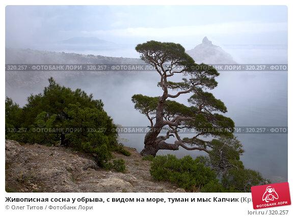 Живописная сосна у обрыва, с видом на море, туман и мыс Капчик (Крым), фото № 320257, снято 21 мая 2008 г. (c) Олег Титов / Фотобанк Лори