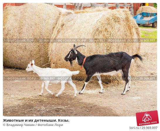 Купить «Животные и их детеныши. Козы.», эксклюзивное фото № 29969897, снято 9 июня 2013 г. (c) Владимир Чинин / Фотобанк Лори