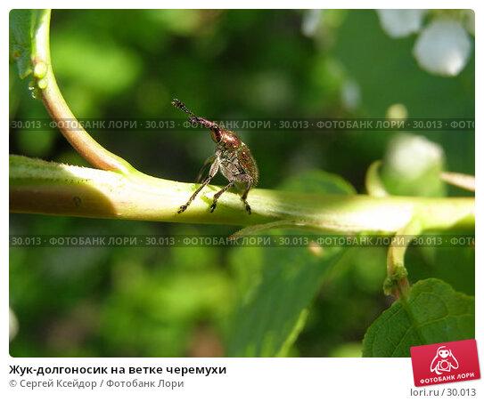 Жук-долгоносик на ветке черемухи, фото № 30013, снято 15 мая 2006 г. (c) Сергей Ксейдор / Фотобанк Лори
