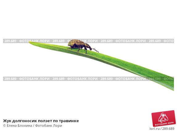 Жук долгоносик ползет по травинке, фото № 289689, снято 18 мая 2008 г. (c) Елена Блохина / Фотобанк Лори