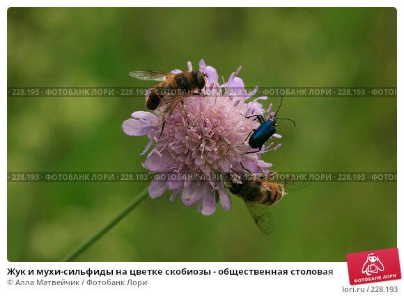 Жук и мухи-сильфиды на цветке скобиозы - общественная столовая, фото № 228193, снято 8 июля 2007 г. (c) Алла Матвейчик / Фотобанк Лори