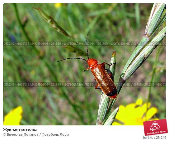 Жук-мягкотелка, фото № 25249, снято 10 июля 2004 г. (c) Вячеслав Потапов / Фотобанк Лори