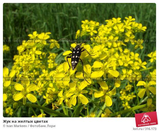 Жук на желтых цветах, фото № 316173, снято 9 июня 2008 г. (c) Василий Каргандюм / Фотобанк Лори