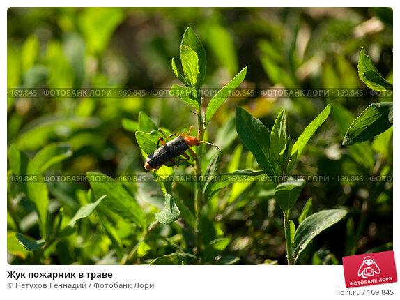 Жук пожарник в траве, фото № 169845, снято 11 июня 2007 г. (c) Петухов Геннадий / Фотобанк Лори