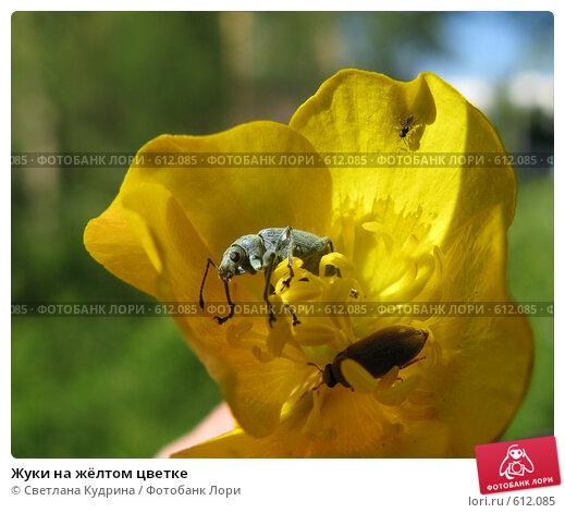 Купить «Жуки на жёлтом цветке», фото № 612085, снято 13 июня 2008 г. (c) Светлана Кудрина / Фотобанк Лори