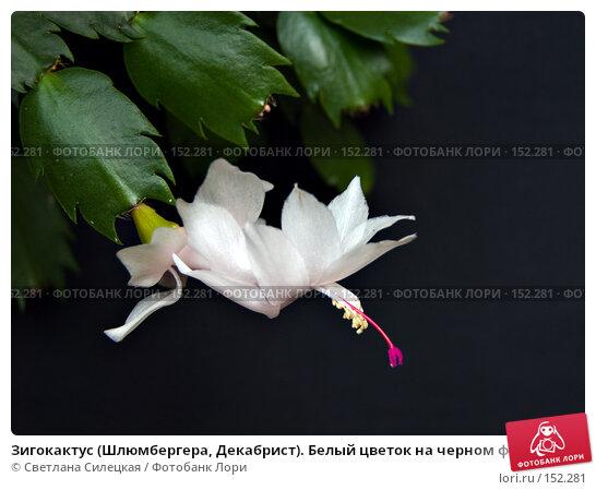Зигокактус (Шлюмбергера, Декабрист). Белый цветок на черном фоне., фото № 152281, снято 12 ноября 2007 г. (c) Светлана Силецкая / Фотобанк Лори