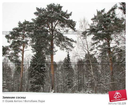 Зимние сосны, фото № 32229, снято 6 февраля 2007 г. (c) Осиев Антон / Фотобанк Лори