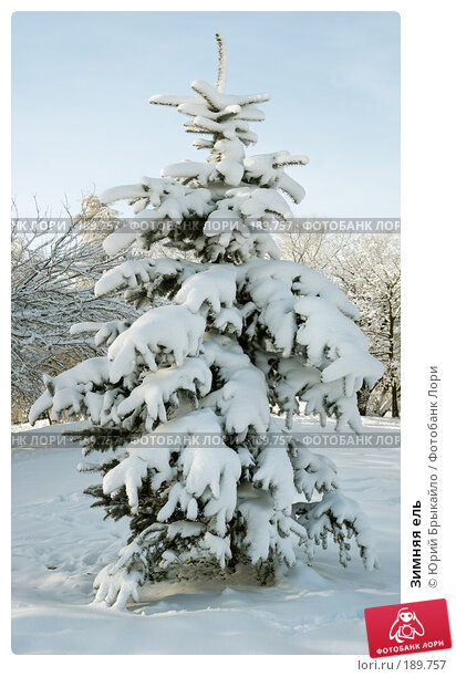 Зимняя ель, фото № 189757, снято 8 декабря 2016 г. (c) Юрий Брыкайло / Фотобанк Лори