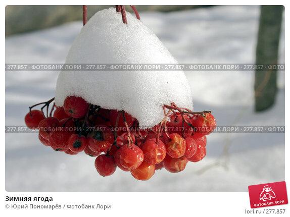 Зимняя ягода, фото № 277857, снято 23 октября 2004 г. (c) Юрий Пономарёв / Фотобанк Лори