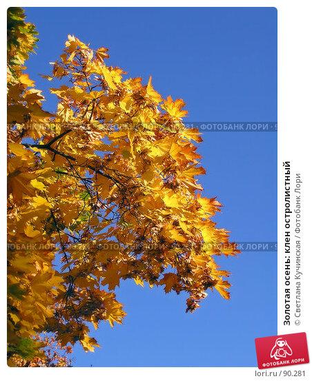 Золотая осень: клен остролистный, фото № 90281, снято 11 декабря 2016 г. (c) Светлана Кучинская / Фотобанк Лори
