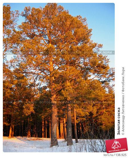 Купить «Золотая сосна», фото № 138925, снято 25 ноября 2007 г. (c) Александр Литовченко / Фотобанк Лори