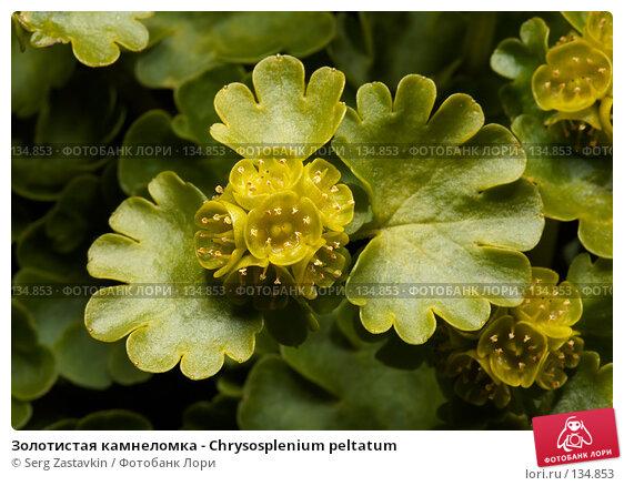 Золотистая камнеломка - Chrysosplenium peltatum, фото № 134853, снято 14 августа 2006 г. (c) Serg Zastavkin / Фотобанк Лори