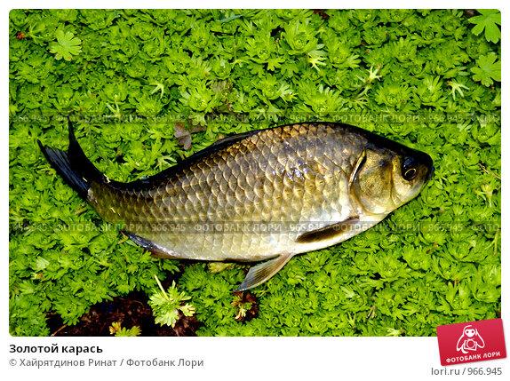 Купить «Золотой карась», фото № 966945, снято 21 июня 2009 г. (c) Хайрятдинов Ринат / Фотобанк Лори