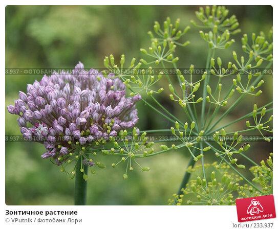 Зонтичное растение, фото № 233937, снято 22 августа 2004 г. (c) VPutnik / Фотобанк Лори