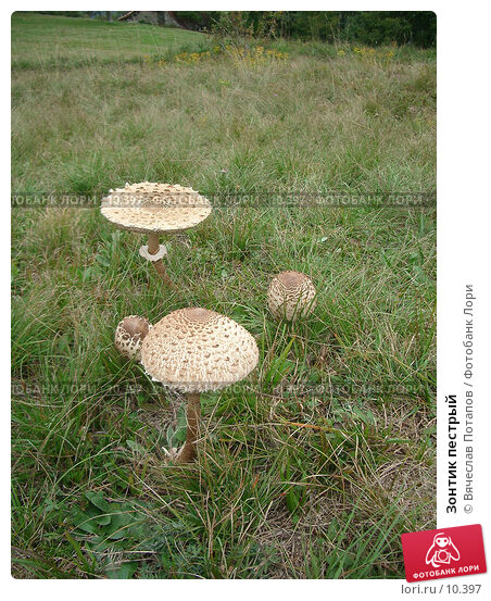 Зонтик пестрый, фото № 10397, снято 25 сентября 2005 г. (c) Вячеслав Потапов / Фотобанк Лори