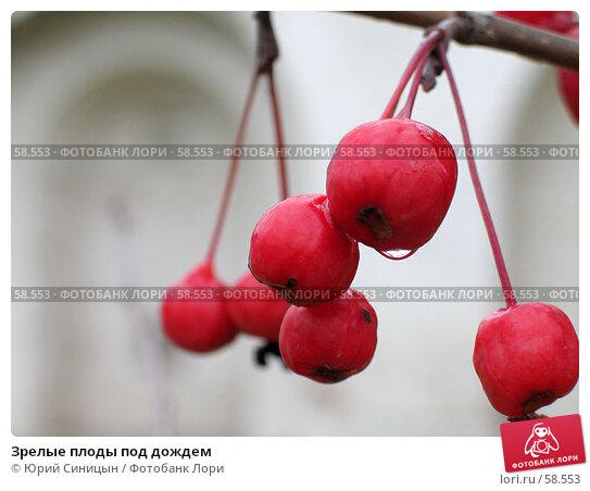 Зрелые плоды под дождем, фото № 58553, снято 21 октября 2004 г. (c) Юрий Синицын / Фотобанк Лори