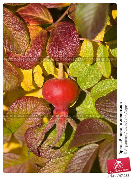 Зрелый плод шиповника, фото № 97233, снято 20 сентября 2007 г. (c) Argument / Фотобанк Лори