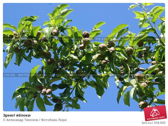 Купить «Зреют яблоки», фото № 318933, снято 10 мая 2008 г. (c) Александр Тихонов / Фотобанк Лори