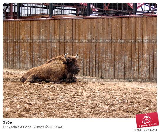 Зубр, фото № 261241, снято 26 августа 2006 г. (c) Куракевич Иван / Фотобанк Лори