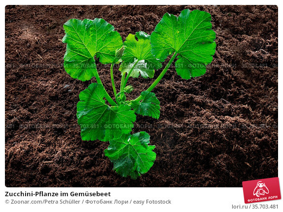 Zucchini-Pflanze im Gemüsebeet. Стоковое фото, фотограф Zoonar.com/Petra Schüller / easy Fotostock / Фотобанк Лори
