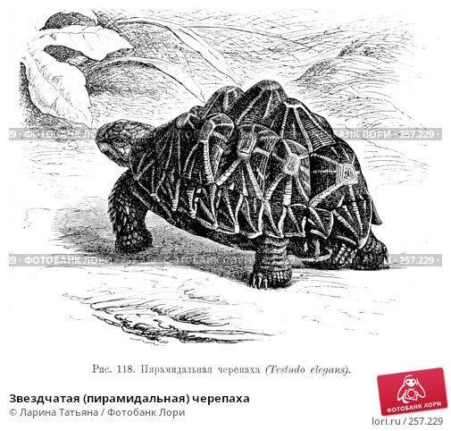 Звездчатая (пирамидальная) черепаха, фото № 257229, снято 25 сентября 2017 г. (c) Ларина Татьяна / Фотобанк Лори
