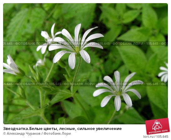 Звездчатка.Белые цветы, лесные, сильное увеличение, фото № 105645, снято 11 июня 2006 г. (c) Александр Чураков / Фотобанк Лори