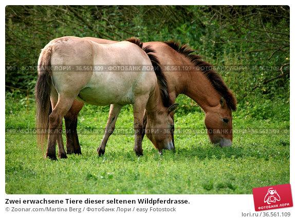 Zwei erwachsene Tiere dieser seltenen Wildpferdrasse. Стоковое фото, фотограф Zoonar.com/Martina Berg / easy Fotostock / Фотобанк Лори